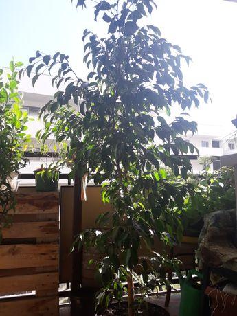 GRUBOSZ BENJAMINEK fikus benjamin drzewko szczęscia roślina zielona