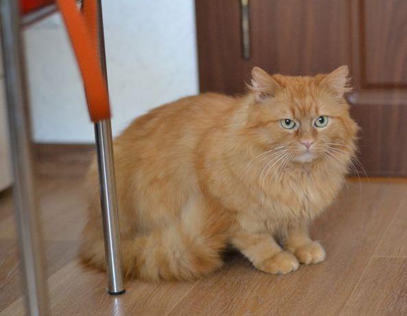 руденький котик Цукерочка 1р