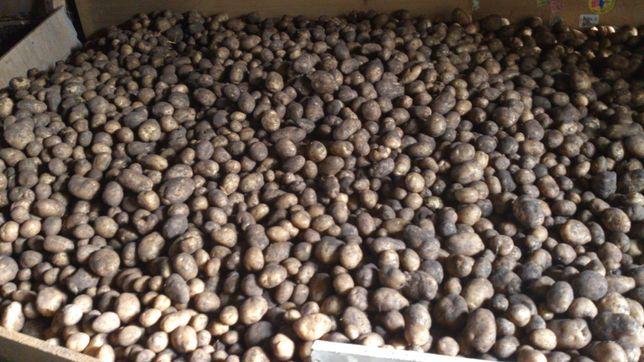 Ziemniaki Denar eko