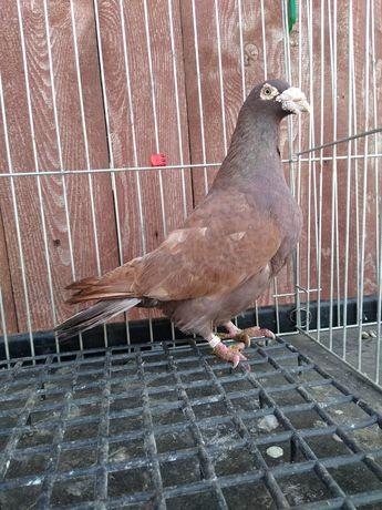 Samiec mulemans, gołębie pocztowe