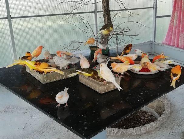 Vendo mandarins (machos e fêmeas)