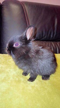 Sprzedam małe króliki miniaturki lewki.