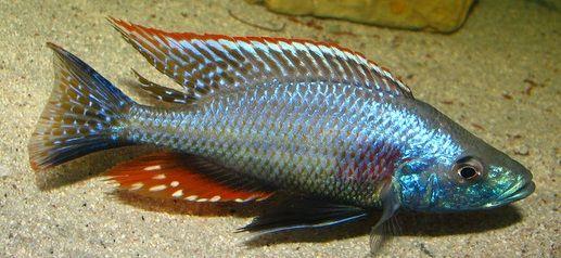 Dimidiochromis Strigatus Pyszczaki Malawi od ręki w Gdańsku