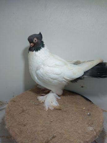 Gołębie ozdobne barwnogłówka samiec 2020