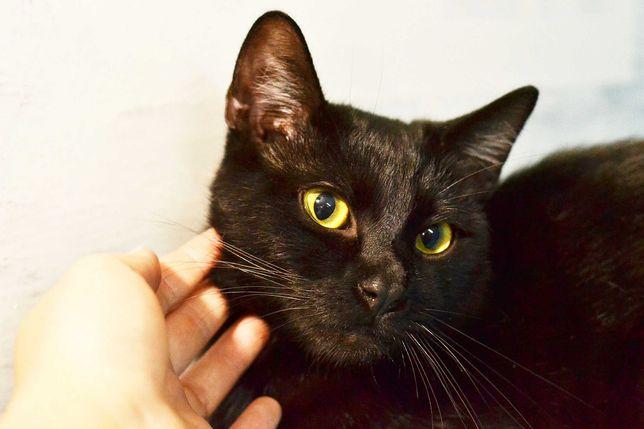 Чёрный кот Томас с желтыми глазками, 8 месяцев, красавчик ищет вас