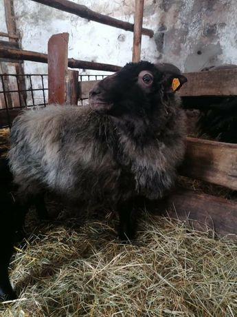 Owca i dwa barany