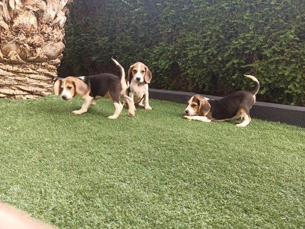 Beagle tricolores LOP e Afixo