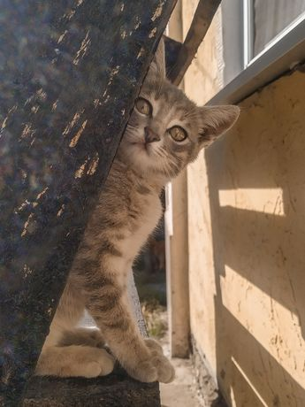 Потрясающий котенок , котята, девочка, мальчик 3 месяца