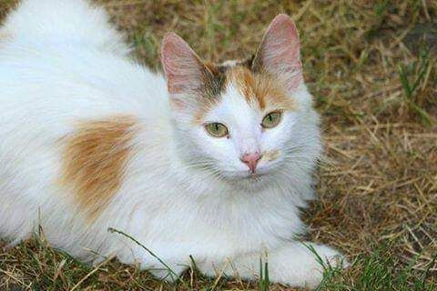 Отдам кошку трехцветку,1 год,стерилизована