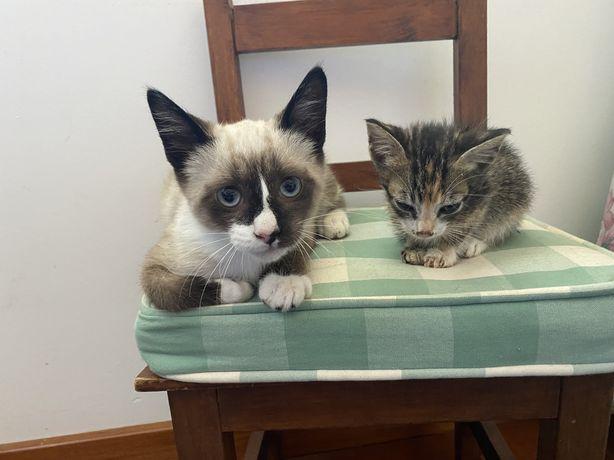 Dão-se gatinhos para adoção responsável