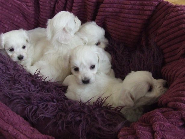 maltańczyk, maltańczyki, biały piesek, szczeniaczki