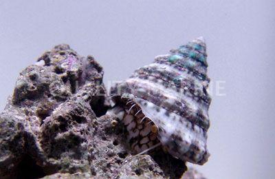 Akwarium morskie - Tectus fenestratus