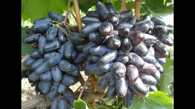 Саженцы винограда Джованни