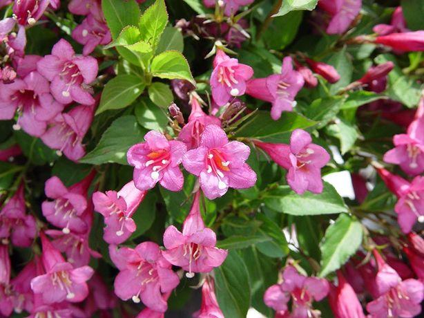 Вейгелла розовая