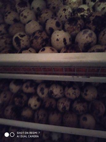 Яйца инкубационные перепелиные