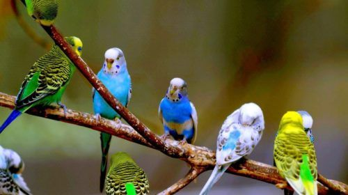 Волнистие попугаи продам
