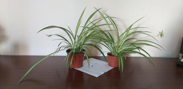 Planta clorofito