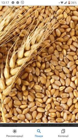 Пшениця з власного городу