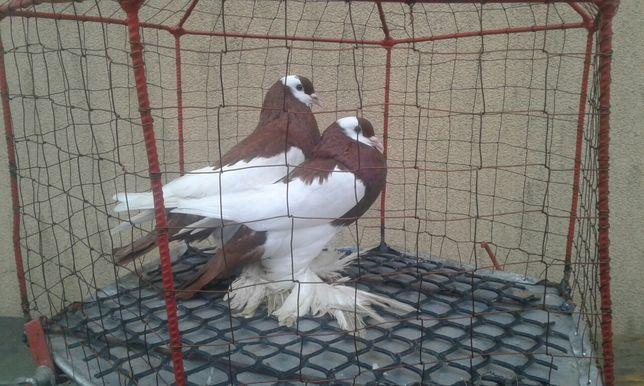 Garłacze czeskie garłacz czeski para nr 4  ptaki gołębie ozdobne