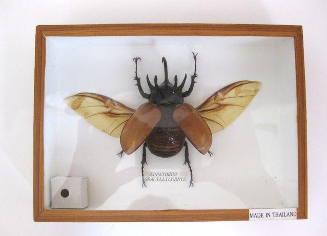 Жук-носорог Eupatorus gracilicornis в рамке под стеклом.