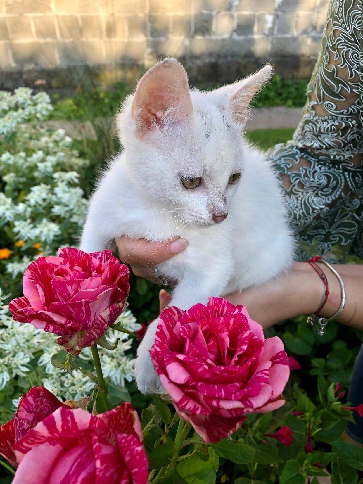 Поночка 2 місяці кішечка кошеня кішка