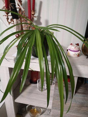 декоративно-лиственное травянистое растение, комнатный цветок,хлорофит