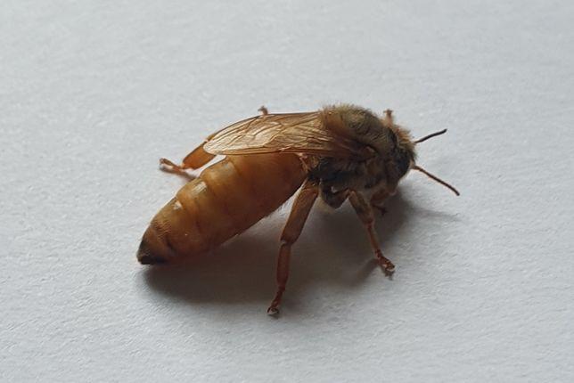 Matki pszczele Buckfast Elgon Agt Hinderhofer