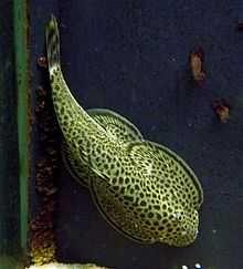 Przylga  beufortia leveretti6,0 cm