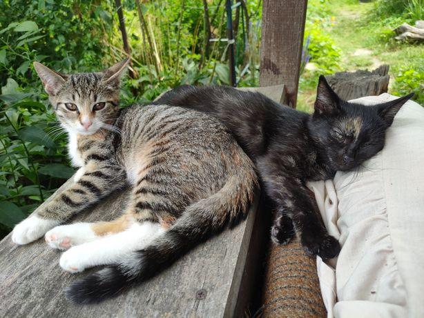 Dwie kotki 3 miesięczne do oddania