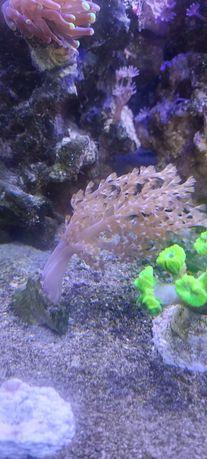 Koral Capnella Tanio