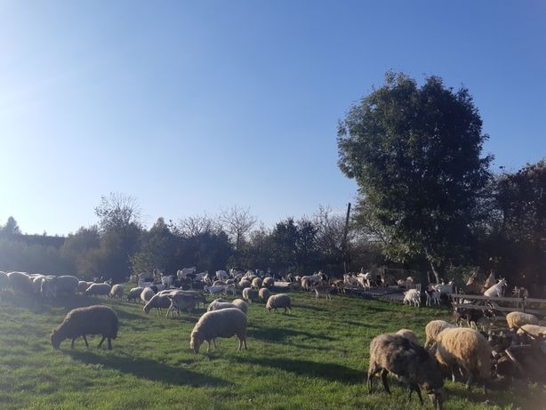 Ягнята . Вівці .