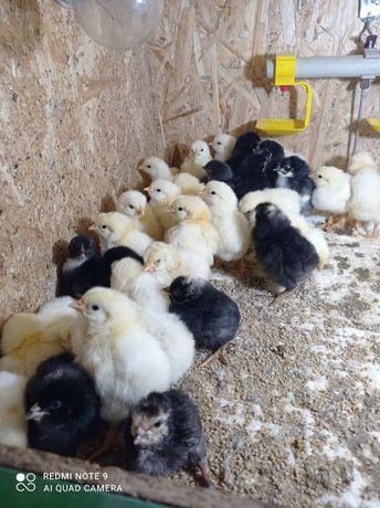 Продам домашніх курчат
