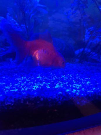 Welonek złota rybka