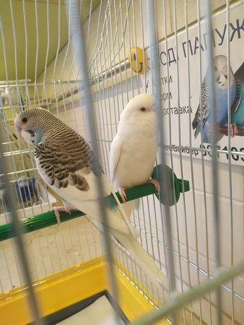 Хвилясті папуги, волнистые попугаи