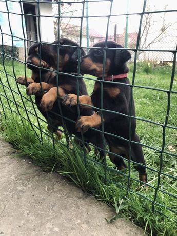 Чистокровні щенки добермана, цуценята, щенята, собаки, песики.2 місяці