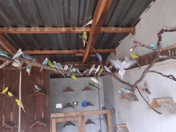 Papugi faliste różne kolory