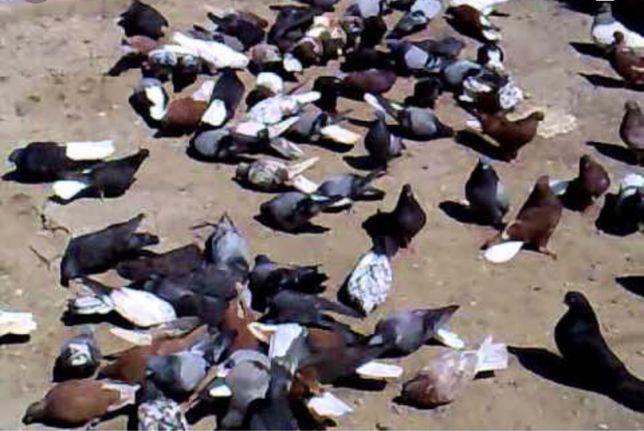 Николаевские голуби