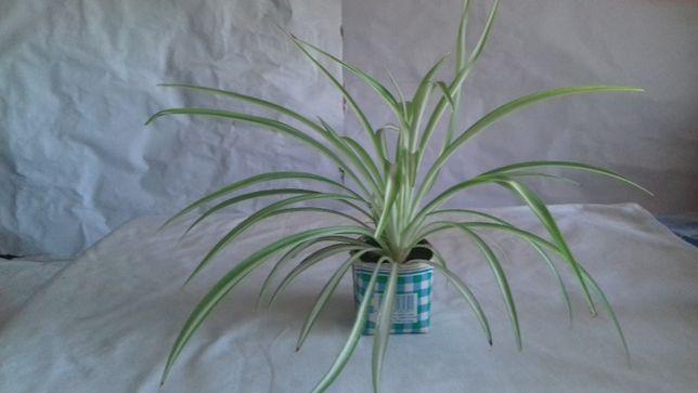 Продам ростки хлорофитума