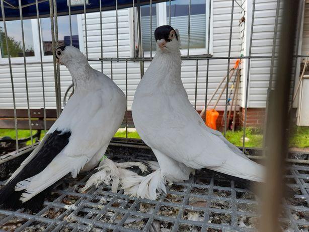 gołębie krymki białostockie