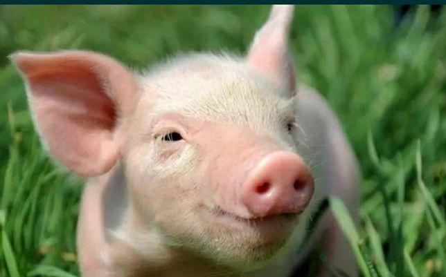 Продам свиней по 35 грн.