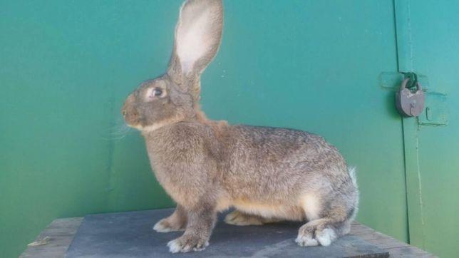 Продам Кролики серый великан агути