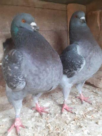 Gołębie Gołębie Kingi  Kingi
