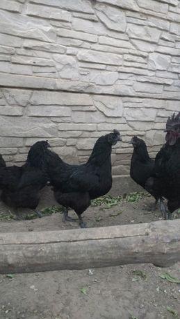 Інкубаційне яйце курей породи Ухей-Илюй,півень,кури.