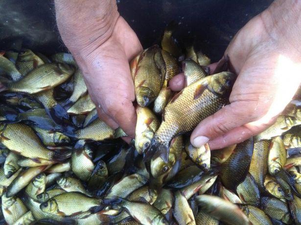 Narybek Karasia Karaś Złoty Żywiec Ryby Wysyłka Certyfikat