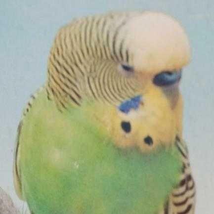 Пропал волнистый попугай