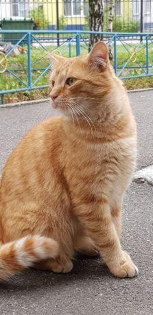 Шикарный рыжий кот ищет семью