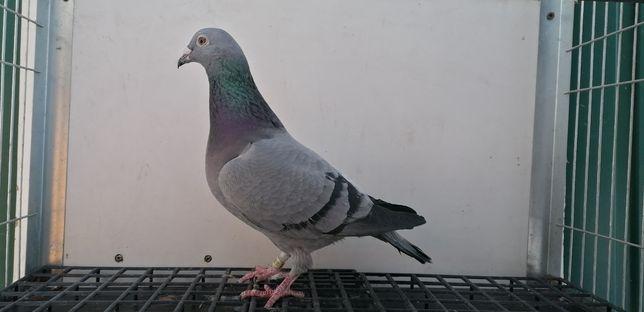 Samica DERBY 19r rodowód gołębie pocztowe