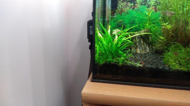 Sagitaria roślina akwariowa