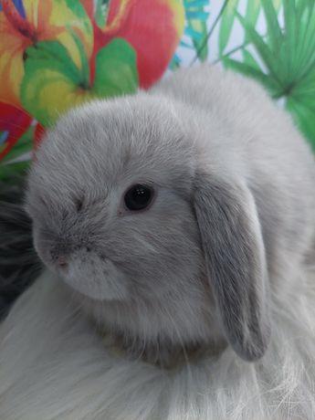 hobbistyczna hodowla królików Sweet Mini Lop
