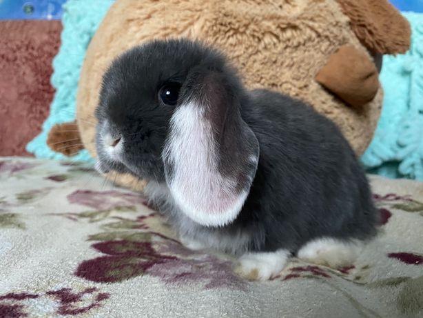 Вислоухий кролик, декоративный карликовый баранчик. Голубо-белый
